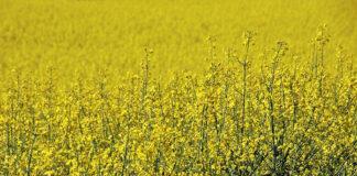 Efektywna walka z chwastami w uprawach rolnych